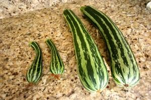 giant_zucchini